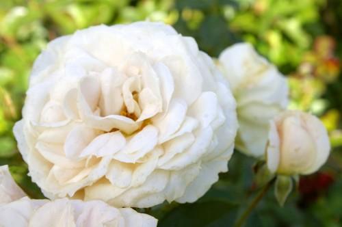 18 сентября Роза флорибунда Лионс-Роуз (Lions-Rose) Kordes, 2002